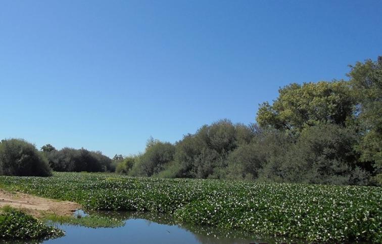 Câmaras de Benavente e Coruche unidas no combate à praga de jacintos de água no Rio Sorraia