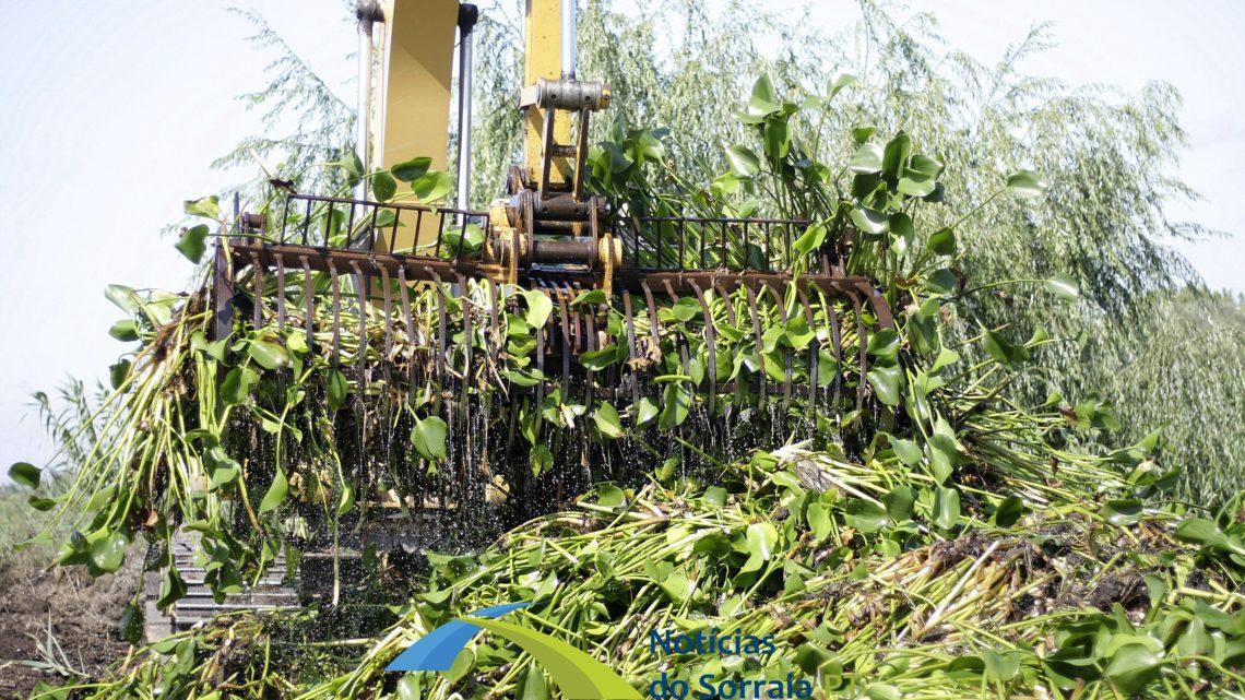 Limpeza dos jacintos do rio Sorraia continua diariamente com o movimento Juntos pelo Sorraia a pedir mais empenho ao Governo