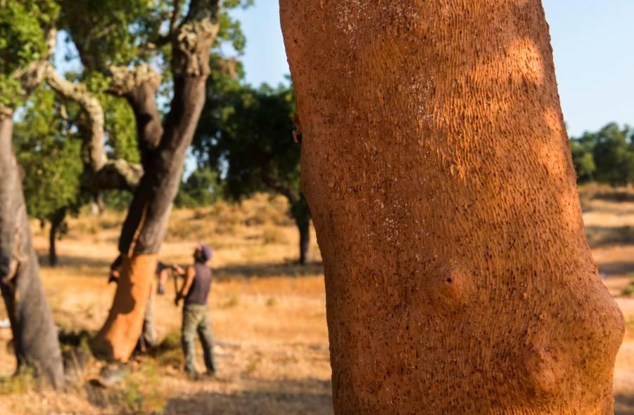 Grupo Amorim financia investigação para acelerar desenvolvimento do sobreiro